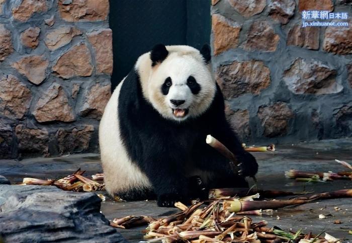 """(社会)(2)四只大熊猫""""做客""""河北"""