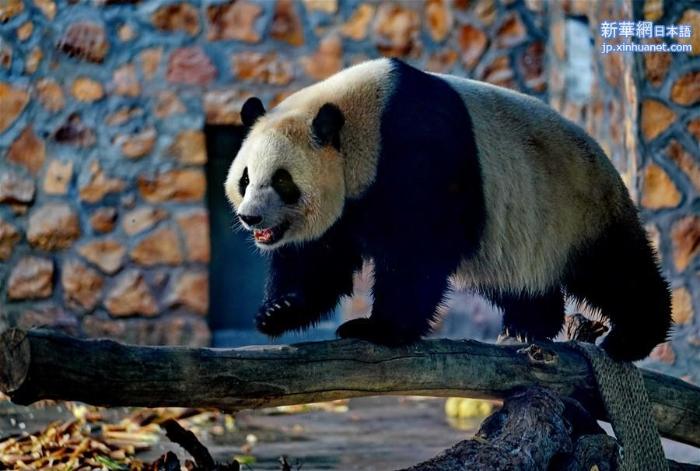 """(社会)(4)四只大熊猫""""做客""""河北"""