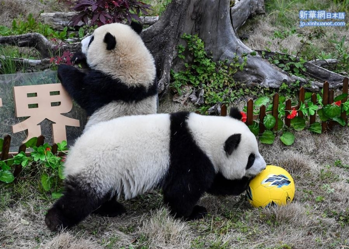 """(新华视界)(3)熊猫""""足球赛"""" 助威世界杯"""