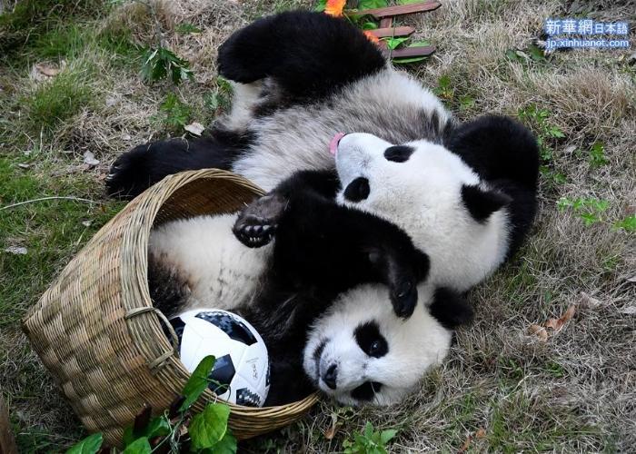 """(社会)(5)熊猫""""足球赛"""" 助威世界杯"""