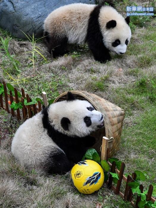 """(社会)(4)熊猫""""足球赛"""" 助威世界杯"""