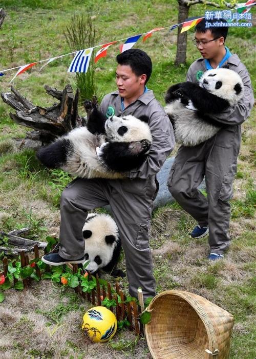 """(社会)(3)熊猫""""足球赛"""" 助威世界杯"""